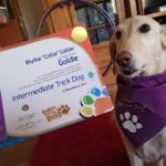 Goldie in new bandanna & ITD certificate!